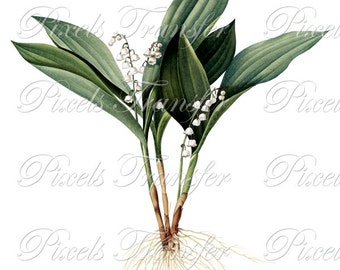 LILY of the VALLEY Instant Download Digital Download, botanical illustration Redoute WEDDING clipart no.221