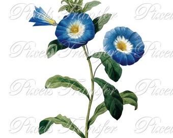 BLUE FLOWERS Instant Download Digital Download, botanical illustration dwarf morning glory WEDDING clipart Redoute no.224