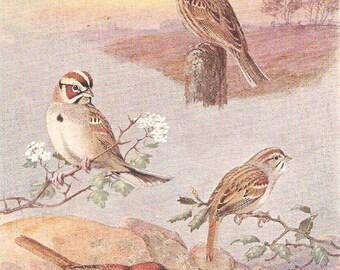 Vintage Bird Print, Book Plate, Sparrows, Vesper Sparrow, Western Lark Sparrow, Allan Brooks, Antique Bird Illustration, 1930s