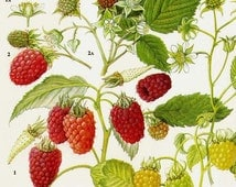 Raspberry Wineberry Fruit Chart Food Botanical Lithograph Illustration For Your Vintage Kitchen 77