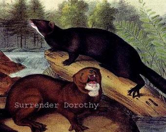 Mink Audubon Vintage Wild Animal Natural History Lithograph Print To Frame