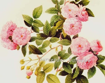 Wild Bramble Rose Rosa Multifolia Carnea Redoute Vintage Flower Botanical Lithograph Poster Print To Frame 96