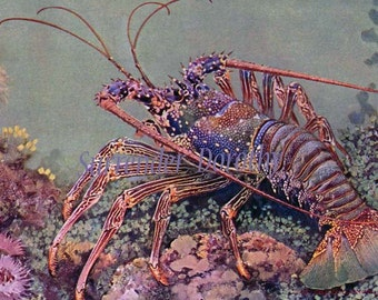 Spiny Lobster Indo-Pacific Marine Biology 1905 Natural History Vintage Lithograph Print To Frame