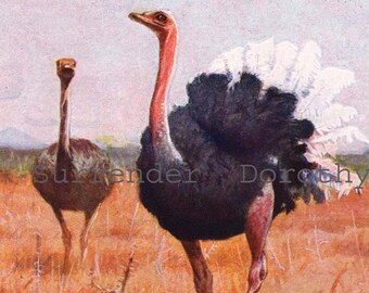 African Ostrich Birds Ornithology Vintage Natural History Lithograph Print 1910s Illustration Germany To Frame