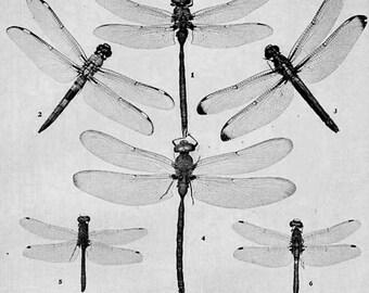 Dragonfly Basiaeschuhna Libellula Vintage Entomology Chart 1907 Edwardian Natural History Rotogravure Illustration To Frame XLIV Black White