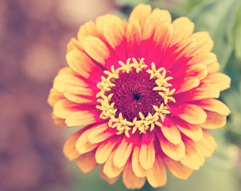 flower photography, nature photograph, yellow wall art, red wall art, zinnia photo