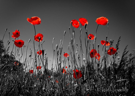 Poppy wall decor 5x7 inches fine art photograph Blood red poppy photo print Scarlet poppy meadow Black and red wall art Poppies meadow