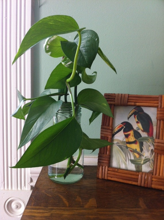 Live Pothos Vine in Glass Vase - Grow an Organic Houseplant and Clean the Air in your Home