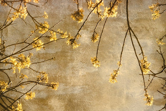 Nature Photography, Print, Spring, Gold, Yellow, Nature, Tree, Leaf, Plant, Photo, Photograph  - Golden Canopy
