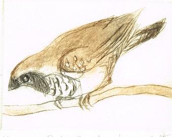 Original Dry Point Hand Pulled Etching of an Australian Native Bird, Pictorella Mannikin, Original Bird Print