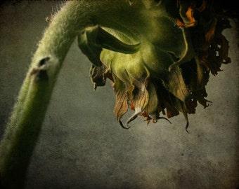 flower photograph, sunflower print, home decor, Gallery Wrap Fine Art Photograph