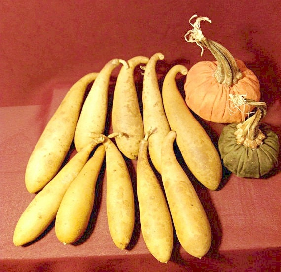 Gourds 10 dried, cleaned and Craft ready Banana Gourds (Item 3)