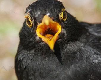 SQUAWKING BLACKBIRD print
