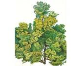 Botanical Print  - Hinoki Cypress - Shrub and Tree Studies