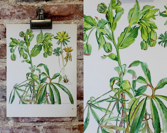 Vintage Flower Plate - Stinking Hellebore - Botanical Illustration 1968