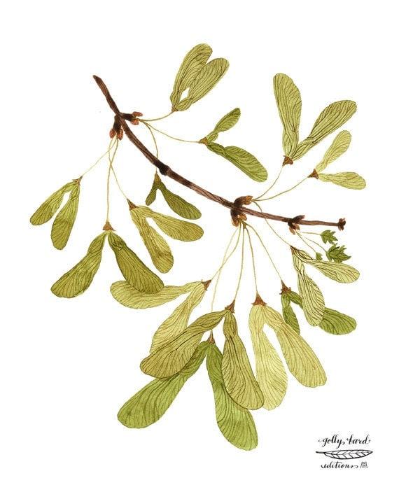 Winged Maple Seeds Print, botanical print, botanicals, giclee art print, watercolor, samara, maple tree illustration