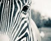 Zebra Face Close-Up Black & White Fine Art Print - Nature, Botanical, Wildlife, Garden, Nursery Decor, Home Decor, Baby, Zen, Gift