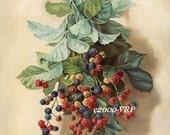 French Blackberries, Art Print, Paul de Longpre, Berry, Half Yard Long, CP132, Blackberry, Fruit, Shabby Chic Decor, French Kitchen,