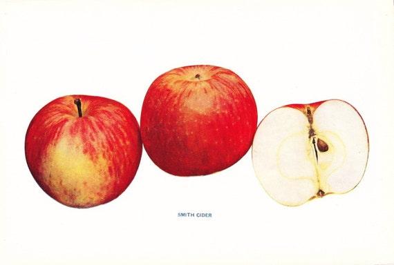 1905 Fruit Print - Stayman Winesap Apple - Vintage Home Kitchen Food Decor Plate Plant Art Illustration Great for Framing 100 Years Old