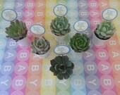 "Budget-Friendly, 55 Succulent Plant Favors, Wedding Favors, Rosettes in 2"" Silver Pails, Optional Custom Favor Tags Available"
