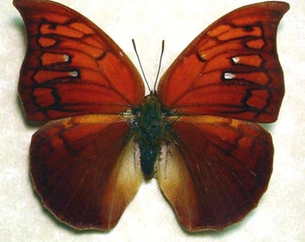 Real Framed Anaea Tyrianthina Fire Opal Female Butterfly 822F