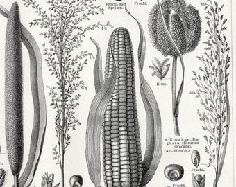 Antique Print of Corn and Other Grains - 1895 German Engraving