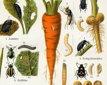 1895 German Brilliantly Coloured Antique Chromolithograph of Insect Pests. No. 1