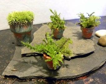 Live Moss Pots-Miniature fern moss-Terra cotta pot looks like a Boston fern-Tiny potted planter