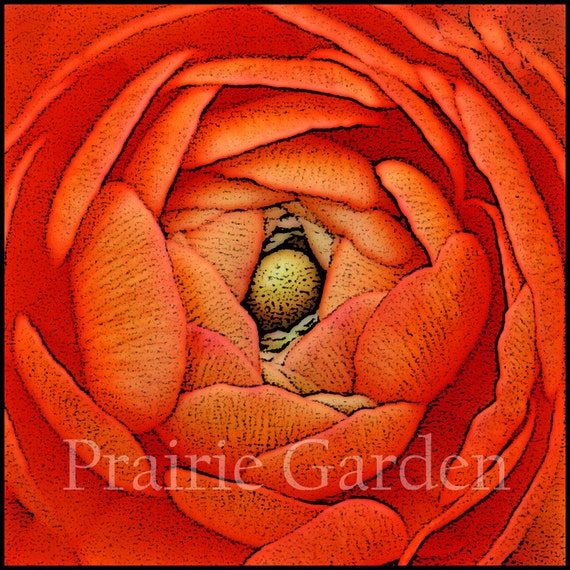 Apricot Ranunculus - Fine Art Giclee Print - Available to Ship Now