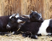Baby Goats Cuddling Photo - 8x10 Color or Black and White Farm Animal Photography Print - Barnyard Rustic Country Decor Art