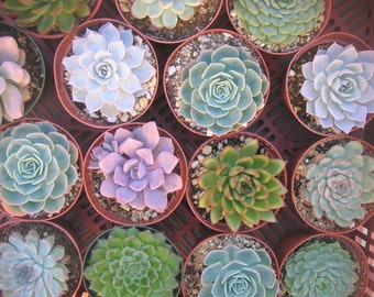 ReSeRvEd For Lauren, 40 Large Succulent Rosettes, See Convo For Colors, DEPOSIT Has Been Paid, Ship October