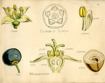 Antique Botanical Flower Print, 1874, Plate 22, Yellow, Blue Berry, Rhamnaceae, Nat History, Vegetable Kingdom, Hand Colored