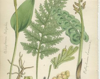 Rare, Bristle Fern, Moonwort, Adder's Tongue, Antique Botanical Fern Print 18, 1851, British Natural History, Fitch, Hand Colored