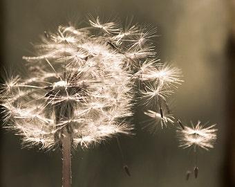 Dandelion Flower Fine art photography - Nature photography print - Flower photography - Sepia photography - Botanical art - Floral art