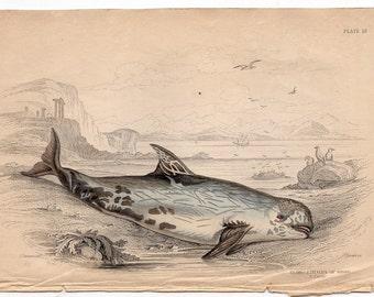 1837 ANTIQUE DOLPHIN ENGRAVING original antique sea life ocean print - risso dolphin