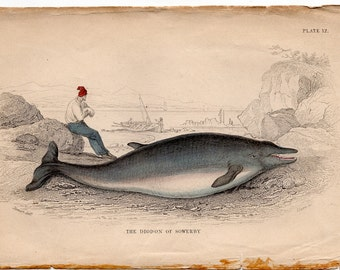 1837 ANTIQUE WHALE ENGRAVING original antique sea life ocean print - the diodon of sowerby