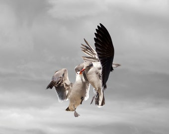 Limited Edition Art Photography Print, Bird Art, Heermann's Gulls, Seagulls, Gulls, Kiss, Share,