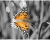 American Painted Lady Butterfly on Chives, Connecticut, 8 x 10, orange, color tint, Fine Art Photography