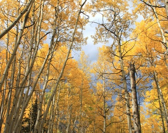 "Aspen Tree Canopy and Peaceful Forest Lane (16"" x 20"" photo print)"