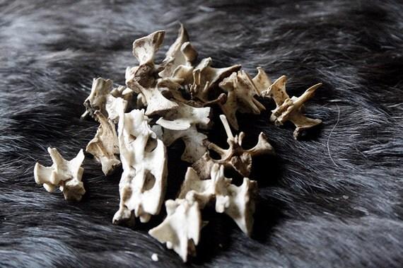 x14 Muskrat Sacral Vertebrae - Real Bone, Taxidermy, R114511  - Grade A