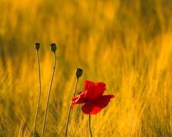 poppy print, poppy photograph, fine art photography, floral photography, flower photography, wall art, home decor, office decor