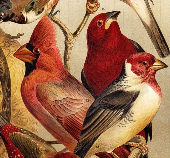 1908 Georgeous DOMESTIC BIRDS lithograph, International house-birds, colorful antique fine Chromolithograph print