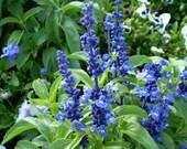 Blue Sage Salvia farinacea 600 Seeds 800 Mg