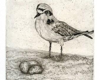 Snowy Plover at Nest, Fine Art Bird Etching
