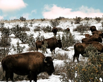 Bison in the snow no 2 FineArt 8x10 photograph