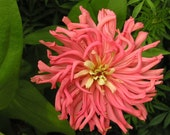Giant Cactus Zinnia Flowers Seed Packet