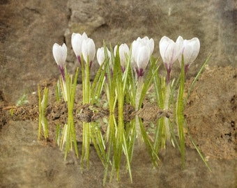 White Crocuses in Pastel Colors - Surreal Nature Photography Print - Fine Art Photography - Home Decor