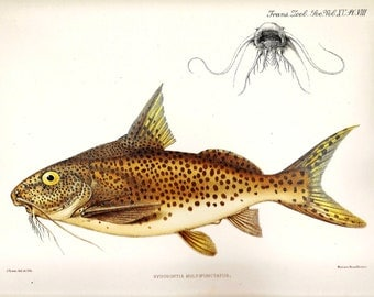 Vintage FISH PRINT 1990 Art Book Plate 124 Antique Painted in 1785 Tanganyika Catfish Beautiful Fish Ocean Sea Boat Ship