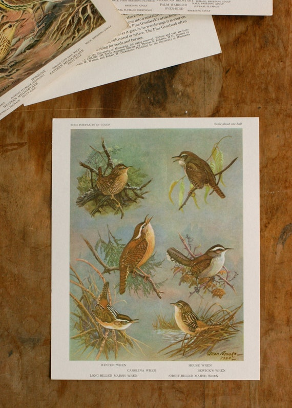 Vintage Bird Illustration, Wren