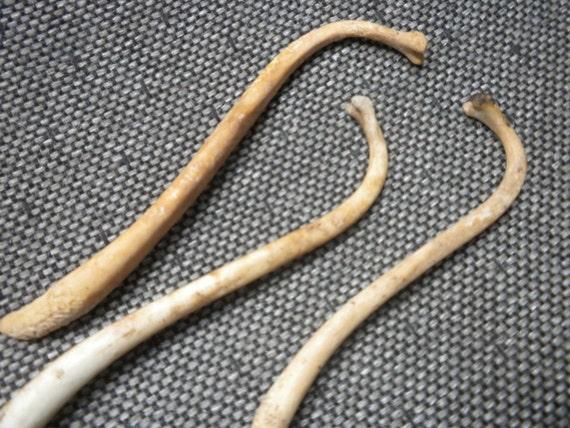 Raccoon Baculum Bone - Fertility Charm